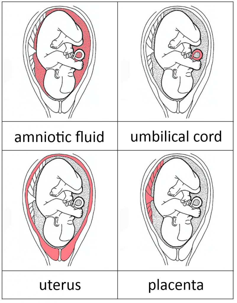 Parts Of The Womb And Baby Development Cards