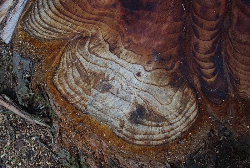 800px-Tree_rings_from_stump_at_Quatama_and_Cornelius_Pass_Road_-_Hillsboro,_Oregon